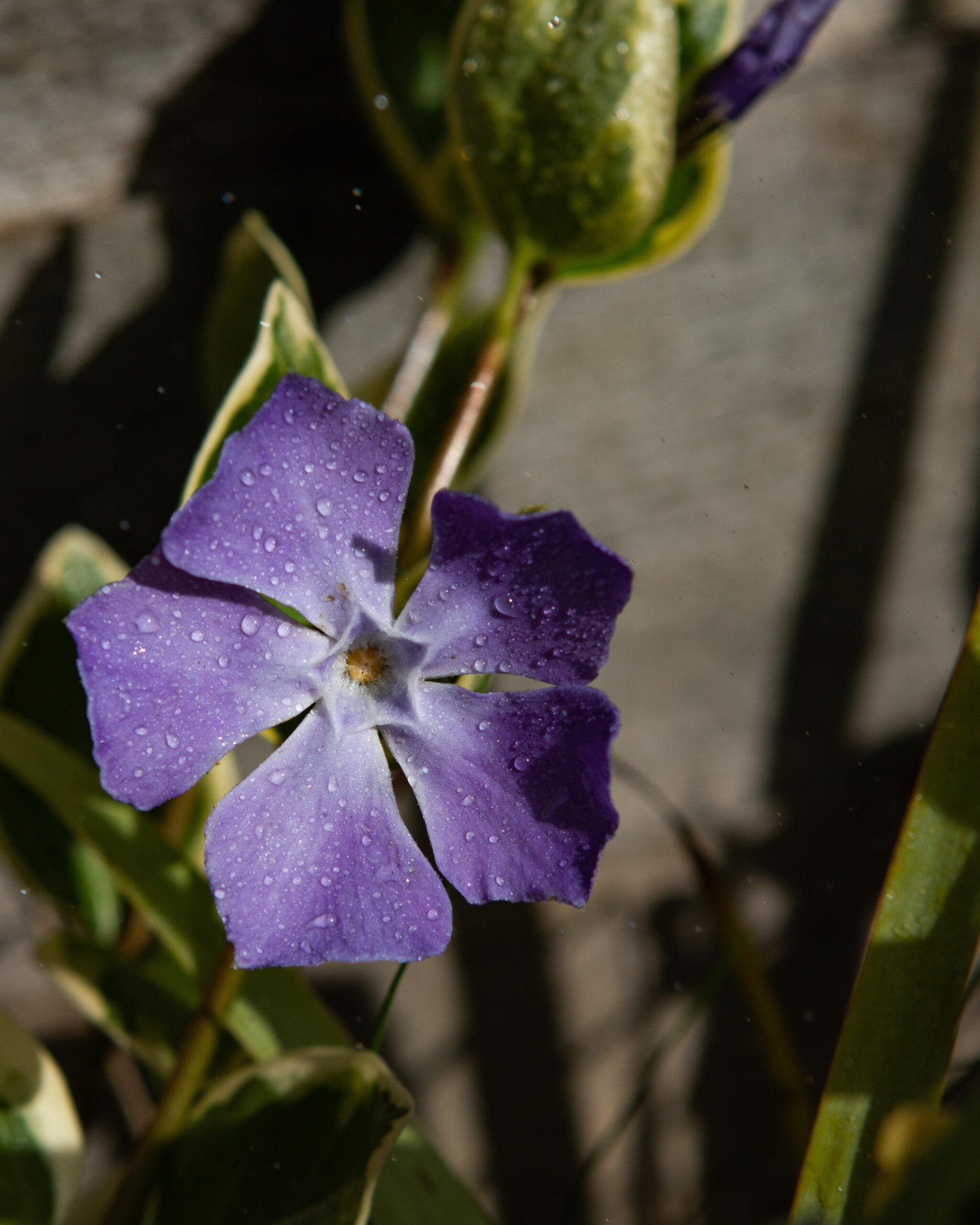 Perwinkle Flower