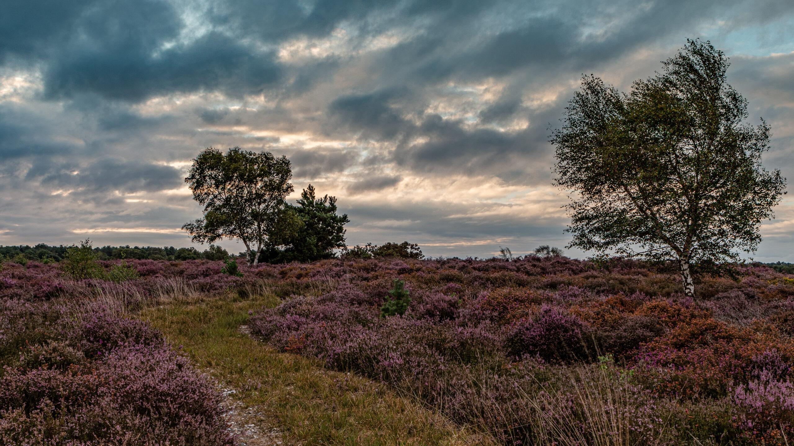 Violet, Westleton Heath, Suffolk