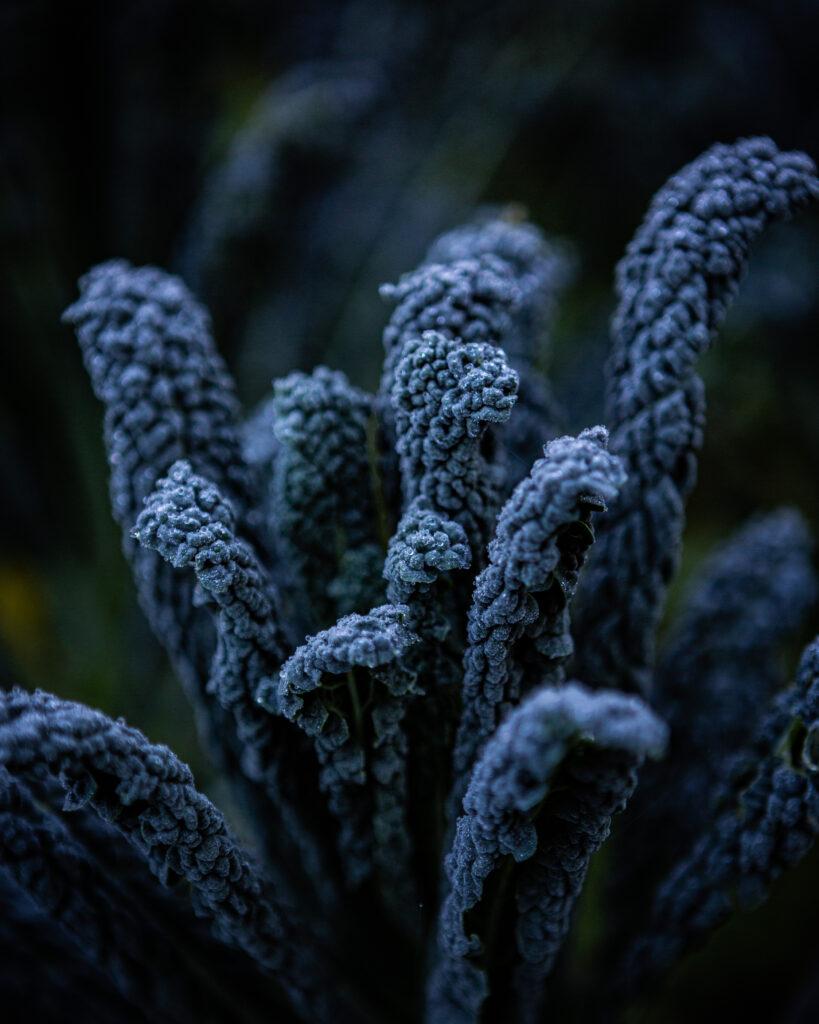 Cavolo nero, Finch Field