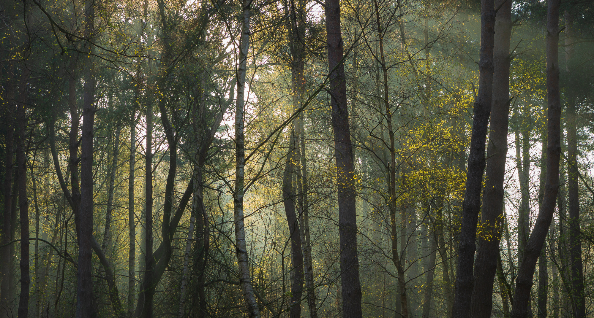 Solemnity - Trees in a woodland at sunrise. with light and subtle dancing light