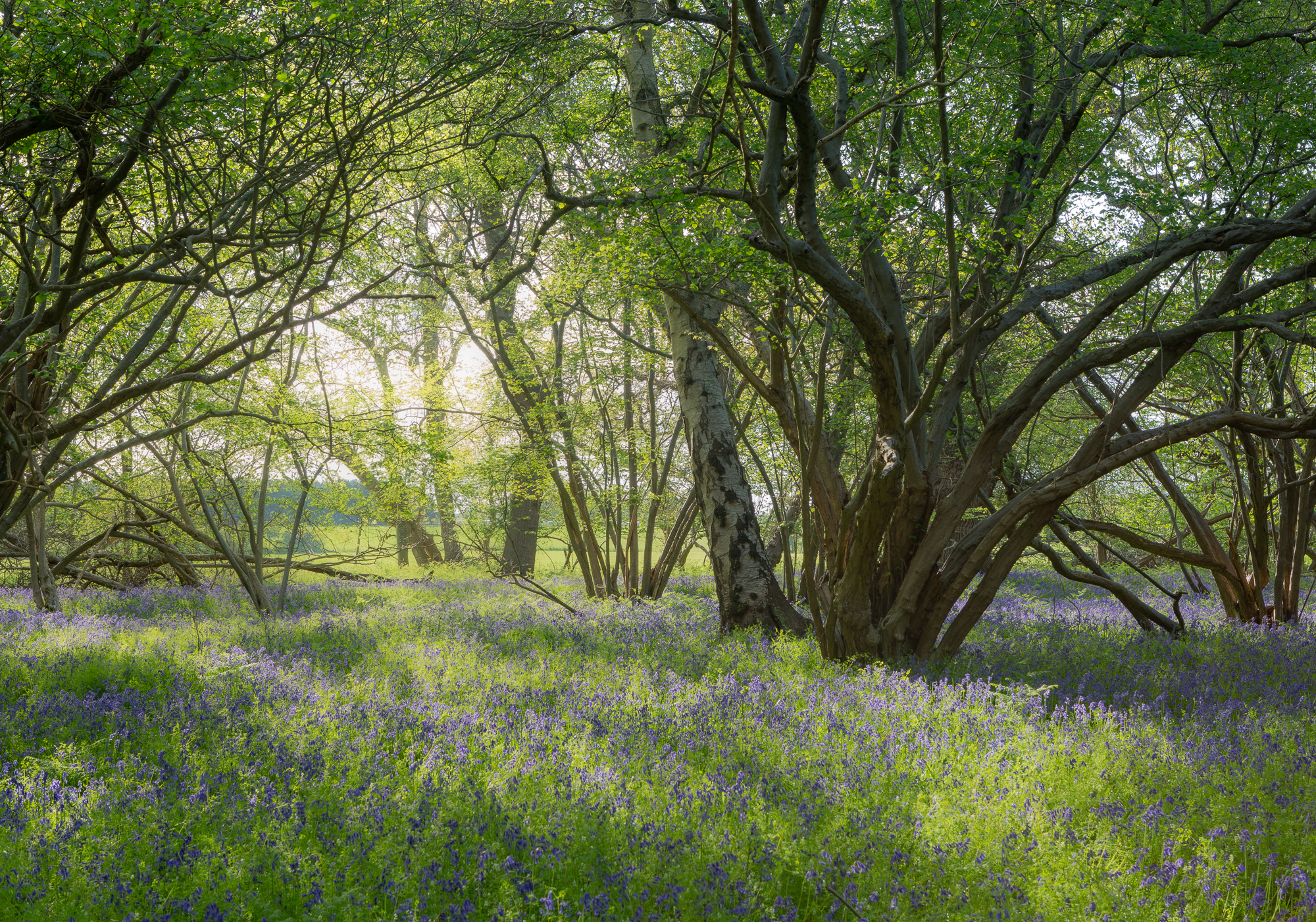 Susurrus - Woodland Photograph at sunrise, with hazel trees and bluebells in Suffolk